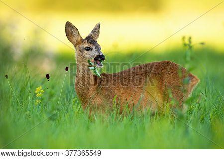 Roe Deer Doe Chewing On Meadow In Summertime Nature.