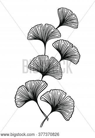 Ginkgo Or Gingko Biloba Branch. Nature Botanical Vector Engraving Illustration, Herbal Medicine Grap