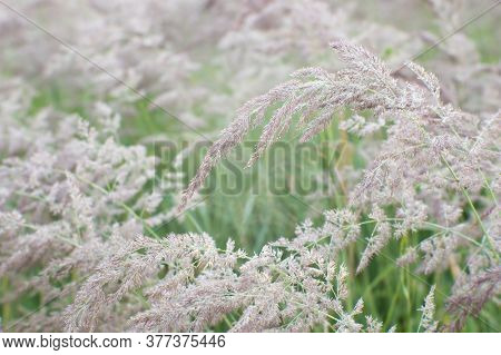 Green Grass With Flowering Racemes Of Beige Ears In A Uniform Soft Light. Natural Background.
