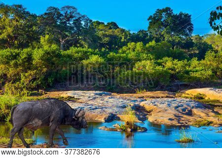 Powerful African buffalo - the largest modern bull grazes in the savannah. Travel to South Africa. Famous Kruger Park. Cloudy summer day. The concept of exotic, ecological and photo tourism