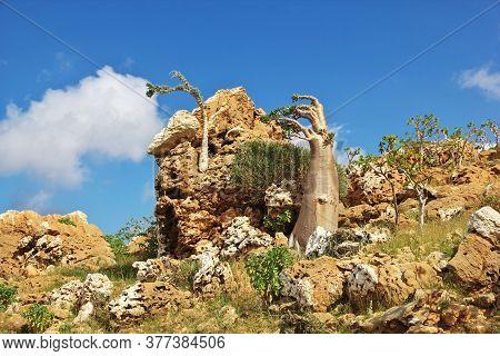 Bottle Tree On Homhil Plateau, Socotra Island, Indian Ocean, Yemen