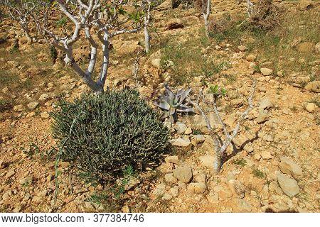 Plants On Homhil Plateau, Socotra Island, Indian Ocean, Yemen