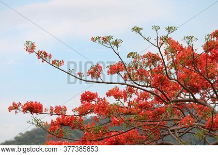 Royal Poinciana In The Park Moving By Wind In The Autumn Season And Blur Green Mountain