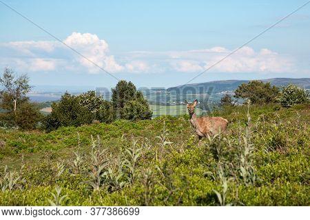 Female Red Deer Doe In Heath Landscape Above Dunster, Somerset Uk