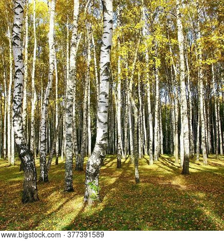 Golden Birch Grove Drenched In Autumn Sun