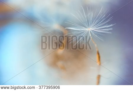 Macro Photo, Dandelion Seeds In Dew Drops On A Mystical Blue Background