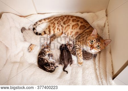 A Bengal Leopard Cat Lies On A Beige Plaid With Small Kittens. Cat Gave Birth To Kittens, Kittens Su