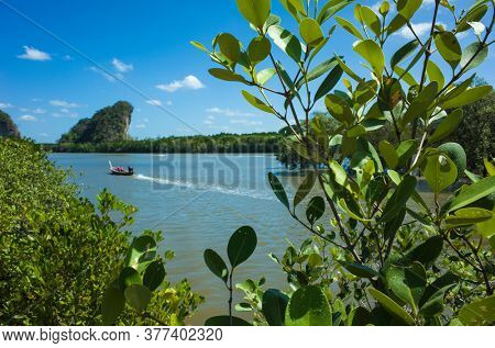 Close-up leaves of mangrove tree in mangrove forest on Pak Nam river and Khao Khanab Nam mountain in Krabi in southern Thailand