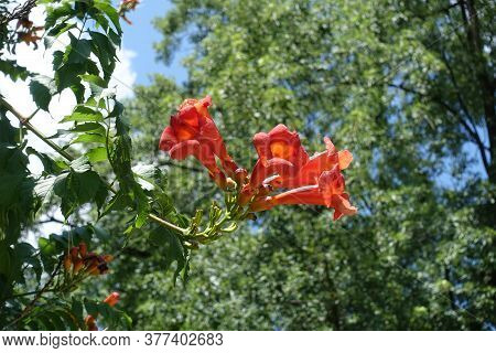 Inflorescence Of Reddish Orange Flowers Of Campsis Radicans In July