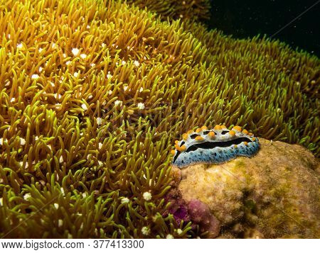 Nudibranch Chromodoris Magnifica At A Puerto Galera Tropical Coral Reef In The Philippines. These Re