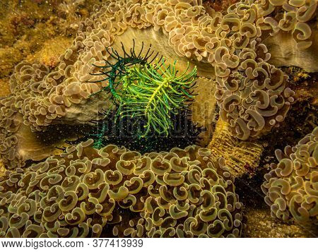 Euphyllia Ancora, Hammer Coral, Or Macaroni Coral Is A Species Of Hard Coral In The Family Euphyllii