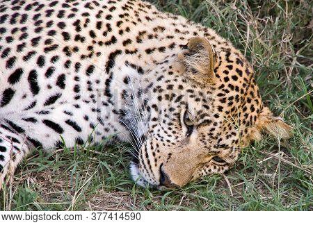 Leopard (panthera Pardus) Portrait. Serengeti National Park. Tanzania
