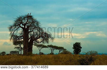 Baobab Trees In Tanzania, Africa At Sunset