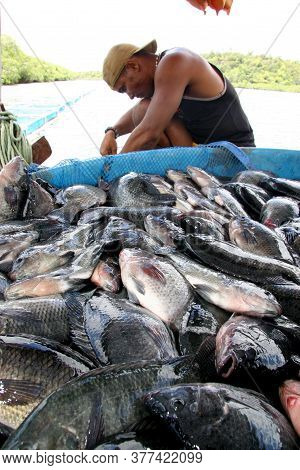 Cairu, Bahia / Brazil - November 20, 2007: Person Is Seen During Captive Breeding Tilapia Fishing In