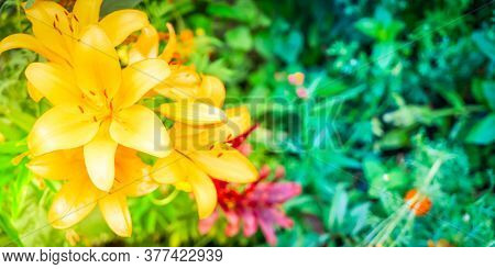 Lilly Orange Flowers Growing In Green Garden, Web Banner Format With Sunshine