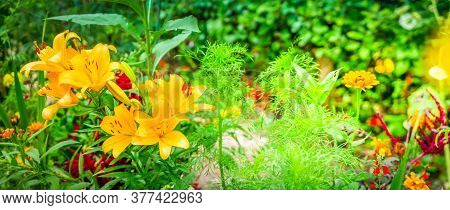 Lilly Orange Fresh Flowers Growing In Green Garden, Wide Web Banner Format With Sunshine
