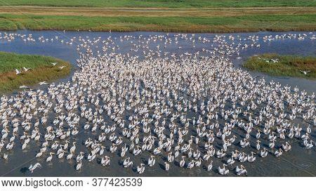 Colony Of Pelicans In The Danube Delta, Romania