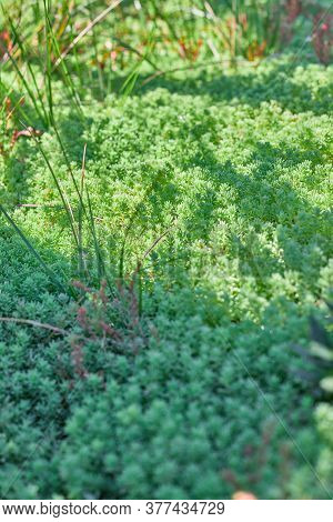 Ornamental Grass Spruce, Sedum, Juniper Horizontal Green In The Sun Background