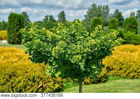 Ginkgo Tree (ginkgo Biloba) Tree In Summer Garden.