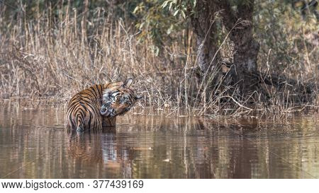 Wild Male Bengal Tiger Or Panthera Tigris Preening His Body With His Long Tongue While Cooling In Na