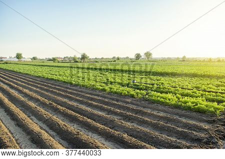 Landscape Of A Farm Plantation Field. Juicy Greens Of Potato And Carrot Tops. Land Processing And Cu