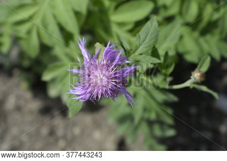 Pink Bachelors Button Top View - Latin Name - Centaurea Pulcherrima