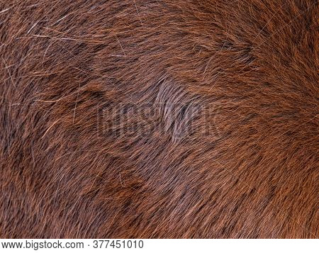 Focus To Hairs Direction In The Horse Fur. Brown  Horse Spring Skin After Brushing Of The Long Warm