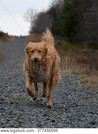 Cute Duck Tolling Retriever Dog Jogging Along A Gravel Drive.