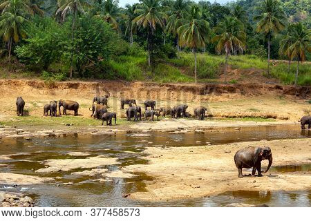 A Herd Of Elephants Walks On The Yellow Bank Of The River. Green Trees And Palm Trees Grow Around. S