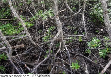 The Roots Of Mangrove Trees Close-up After Low Tide. Mangrove Forests Mangrove In The Tidal Strip Of