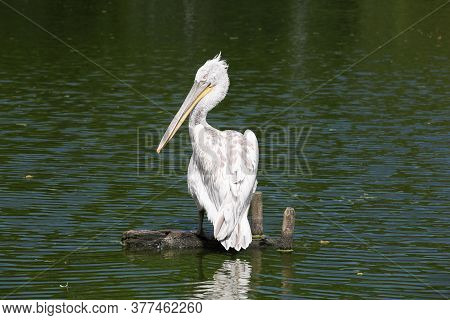 Dalmatian Pelican In The Water In France