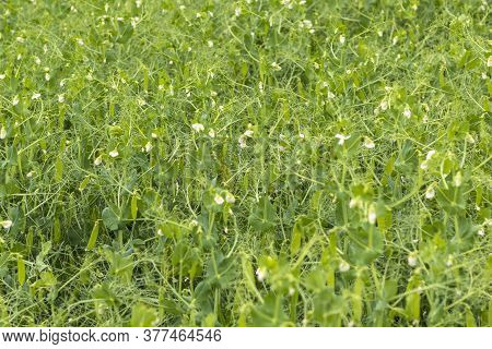 Daylight. Shallow Depth Of Field. Peas Are Blooming In The Garden. Natural Pure Product Without The