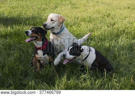 A Large Company Of Mixed-breed Dogs Amstaff Labrador Sennenhund. National Dog Day