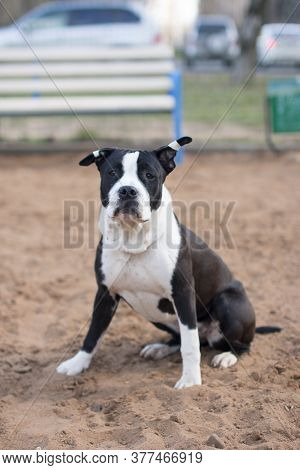 American Staffordshire Terrier On A Walk. Strong Big Dog.