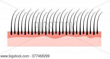 Human Hair Skin Structure Growth Epidermis. Hair Anatomy Concept