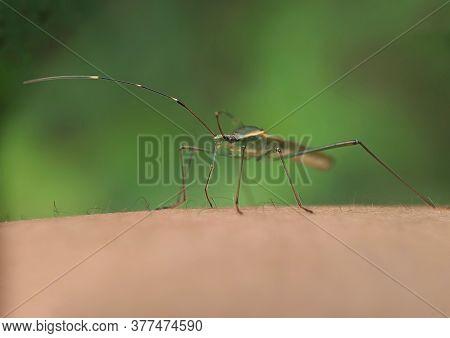 Leptocorisa Oratorius - Grasshopper With A Bad Odor, Grasshopper Pest Of Plants