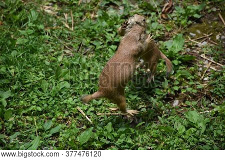 Pair Of Prairie Dogs Fighting And Brawling In The Weeds.