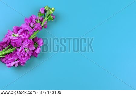 Matthiola Incana Isolated On Blue Background. Lilac Flowers Isolated. Flat Lay. Copy Space. Postcard