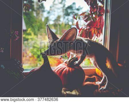 Pretty Fennec Fox Cub With Haloween Pumpkins