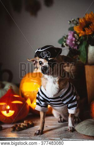 Pretty Eyeless Pirat Chihuahua On Haloween Costume Party