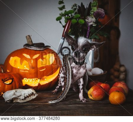 Funny Dog Selebrates Haloween With Snakes And Pumpkin