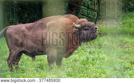 The European Bison Grazes On A Green Field With Tall Grass In The Aviary. Bison Bonasus, Also Known