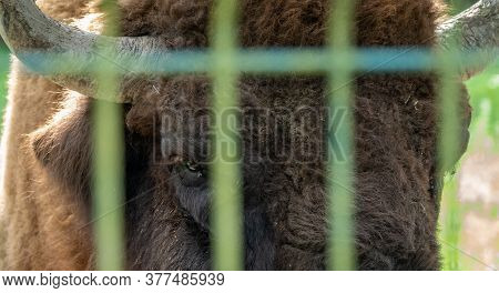 The Eye Of European Bison In The Aviary. Bison Bonasus, Also Known As Wisent Or The European Wood Bi