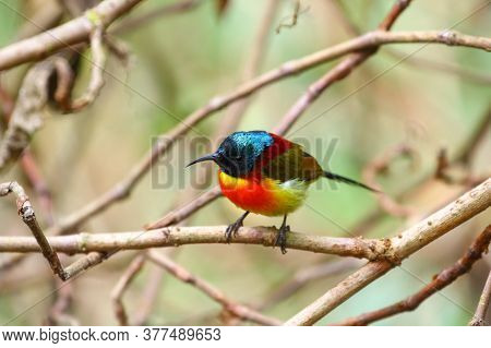 Green-tailed Sunbird (aethopyga Nipalensis Angkanensis) Subspecies Found On The Summit Of Inthanon N