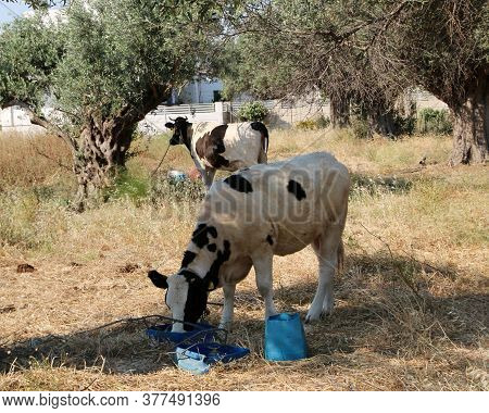 Cows Grazing In An Olive Grove, Afandou, Rhodes, Greece