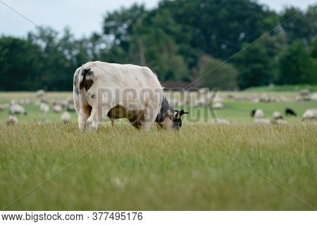 Cows And Bulls Graze On A Pasture In A Green Meadow, Eat Fresh Grass. White Bull In Foreground, Herd
