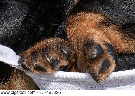 Jack Russell Terrier Puppy Lies In A Mask. Close Up Of A Puppys Paw