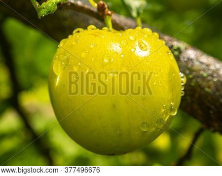 Plum Fruit Berry With Rain Water Drops. Yellow Plum. Orchard. Gardening. Summer Season. Place For Te