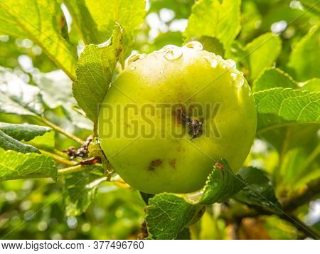 Apple Fruit With Drops Of Rain Water On A Tree Branch.