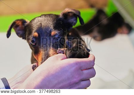 Mother Dog With Litter Of Newborn Jack Russell Terrier Puppies In A Whelping Box With A Warming Lamp